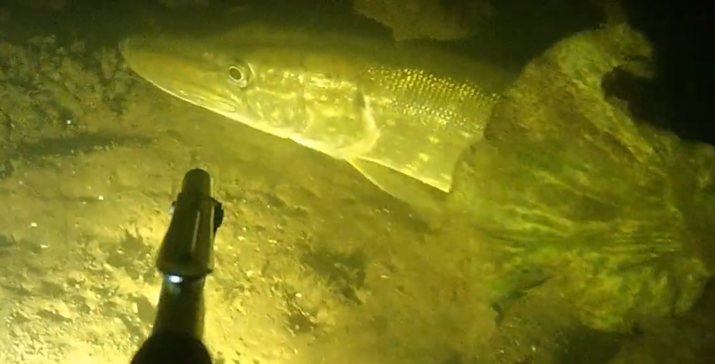 Spearfishing with underwater drone ROV RB-150D